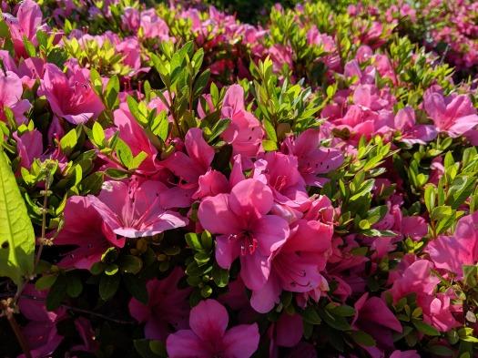 Pixel 3aで撮影した写真 花